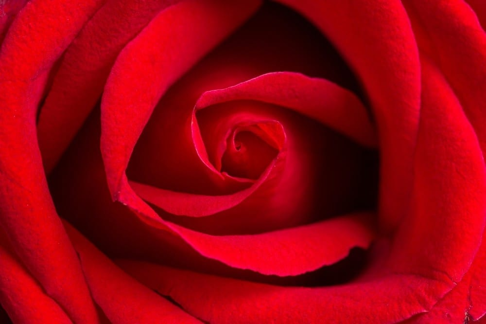 Rose rouge by Mademoiselle M
